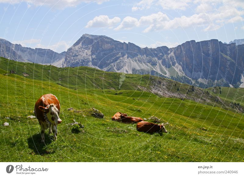 Born To Be Wild Vacation & Travel Mountain Nature Landscape Sky Grass Meadow Alps Farm animal Cow Group of animals Lie Stand Blue Brown Gray Green Calm