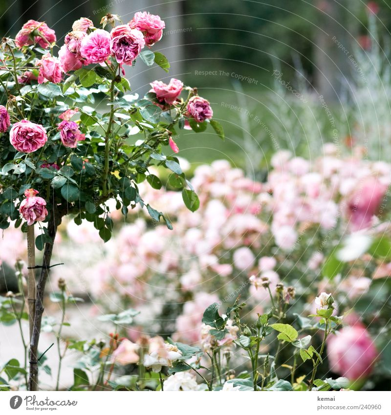 Nature Beautiful Plant Summer Flower Leaf Environment Blossom Pink Bushes Rose Transience Blossoming Fragrance Limp Faded
