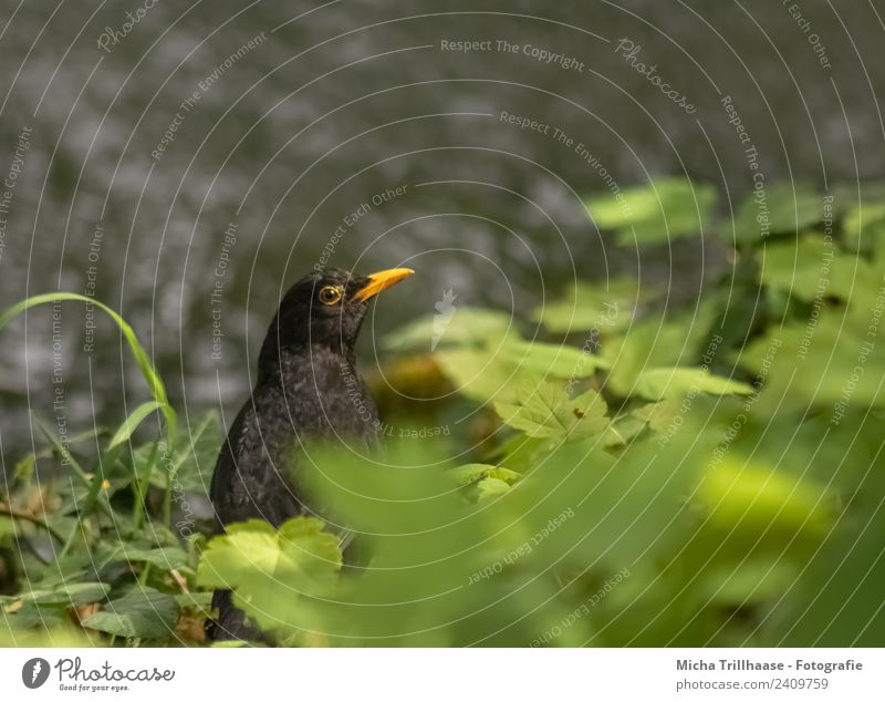 Blackbird at the river Environment Nature Animal Water Sun Sunlight Beautiful weather Plant Grass Leaf River bank Wild animal Bird Animal face Wing Beak Eyes 1