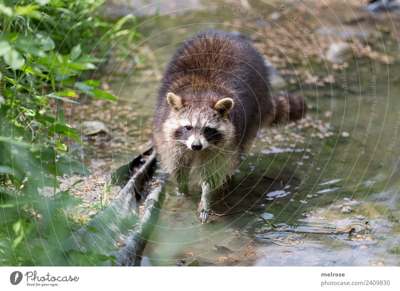 Raccoon in the game park Nature Water Sun Summer Beautiful weather Plant Grass Foliage plant Park Animal Wild animal Zoo Bear Land-based carnivore Mammal 1 Pond