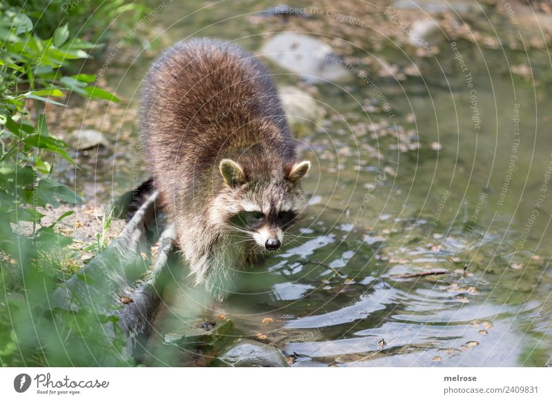 Raccoon in Game Park III Nature Water Sunlight Summer Beautiful weather Plant Grass Foliage plant Animal Wild animal Animal face Zoo Bear Mammal