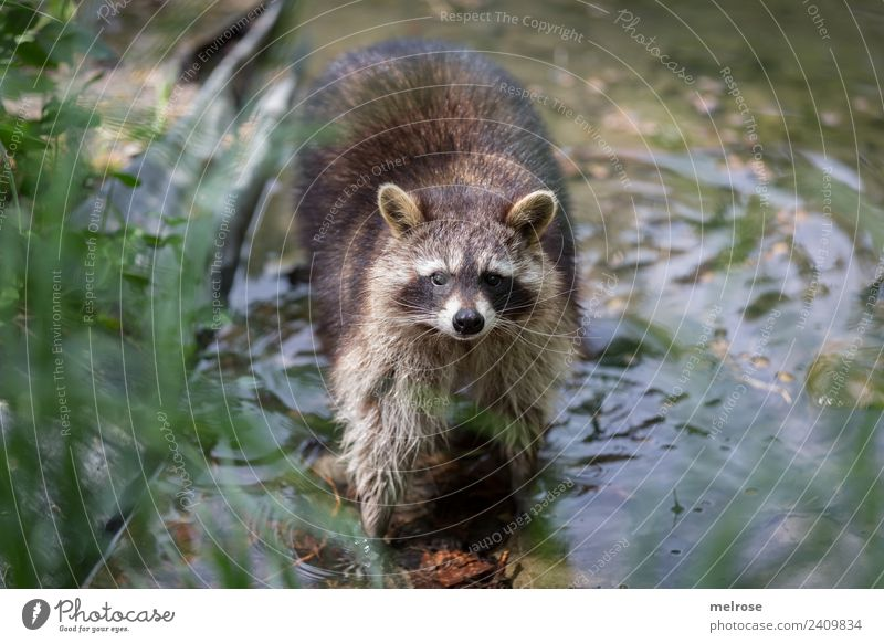 Raccoon in Game Park II Nature Water Sun Summer Beautiful weather Plant Grass Foliage plant Animal Wild animal Zoo Mammal predator Bear 1 Pond To go for a walk