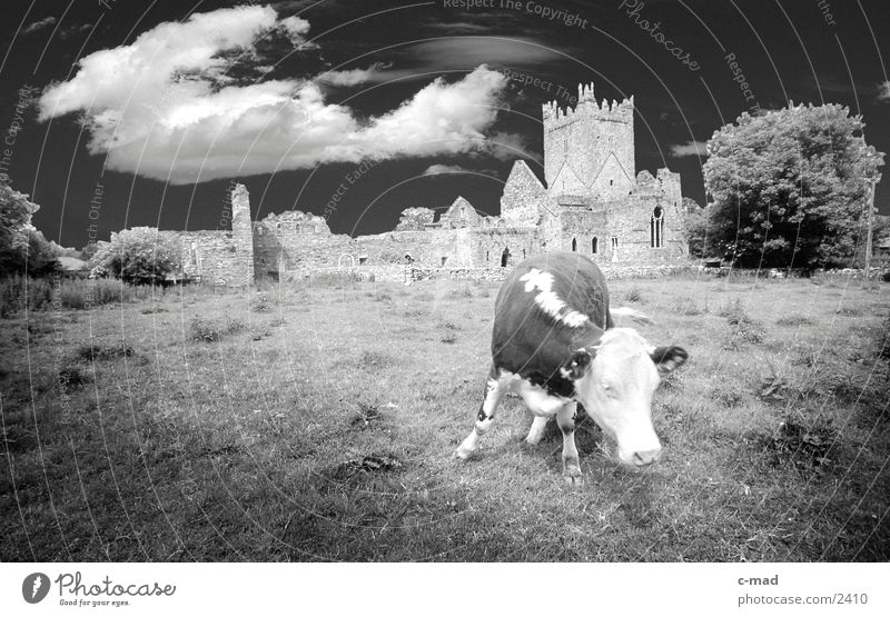 Cow before Abbey in Southern Ireland Clouds Meadow Animal Moody Monastery Black & white photo