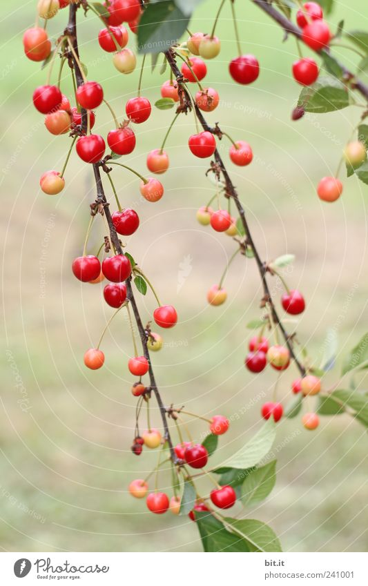 Nature Tree Red Plant Summer Environment Fruit Mature Hang Organic produce Organic farming Cherry Twigs and branches Agricultural crop Biological Cherry tree
