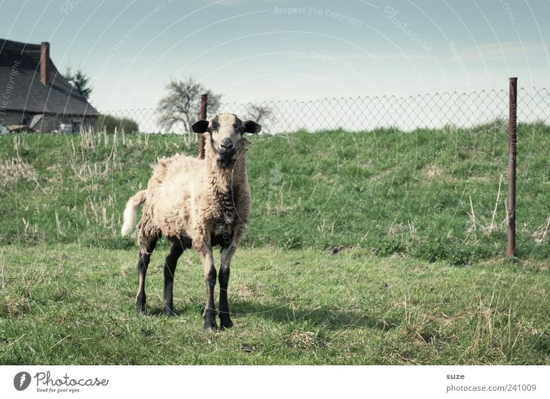 cheese Animal Sky Cloudless sky Horizon Meadow Farm animal 1 Authentic Small Natural Cute Green Curiosity Sheep Pasture Fence Looking into the camera