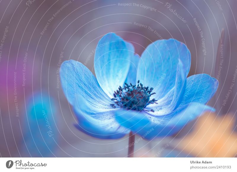 anemone Elegant Wellness Harmonious Contentment Relaxation Meditation Spa Decoration Wallpaper Feasts & Celebrations Easter Nature Plant Spring Flower Blossom