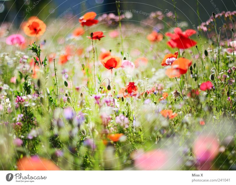 Colourful meadow Plant Spring Summer Flower Grass Leaf Blossom Garden Meadow Blossoming Fragrance Growth Positive Multicoloured Poppy blossom Flower meadow