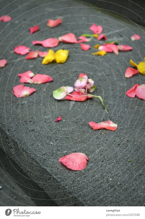 merry me* Feasts & Celebrations Flower Rose Blossom Stairs Stone Yellow Pink Emotions Happy Loyalty Romance Beautiful Rose leaves Colour photo
