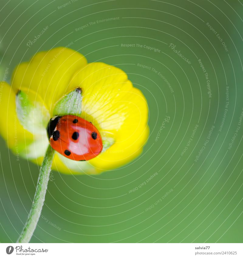 lucky beetle Nature Plant Animal Spring Summer Flower Blossom Crowfoot plants Meadow Beetle Seven-spot ladybird Ladybird Insect 1 Crawl Esthetic Glittering Cute