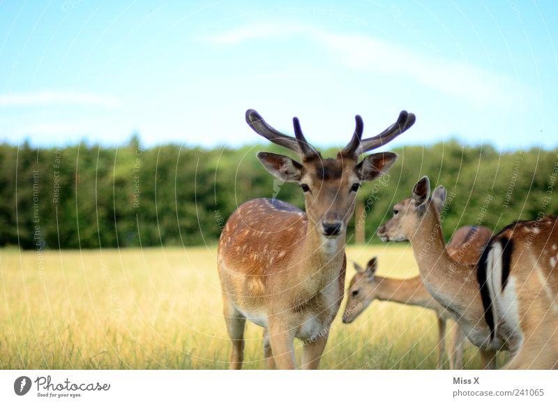 Nature Animal Forest Meadow Field Wild animal Group of animals Curiosity Antlers Pride Deer Herd Timidity Roe deer Wilderness