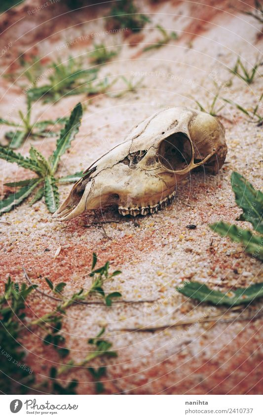 Animal skull lost in desert Nature Old Plant Environment Natural Death Brown Sand Wild Earth Dirty Wild animal Growth Perspective Uniqueness
