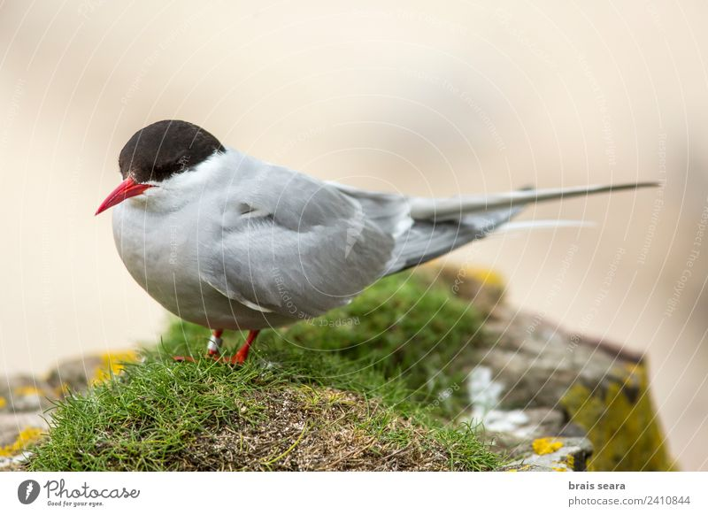 Arctic Tern Education Science & Research Biology Biologist Ornithology Environment Nature Animal Coast Tourist Attraction Wild animal Bird Arctic tern 1 Flying