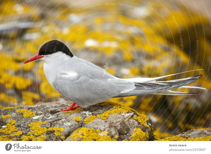 Arctic Tern Science & Research Biology Biologist Ornithology Environment Nature Animal Earth Wild animal Bird Arctic tern 1 Stone Yellow Love of animals
