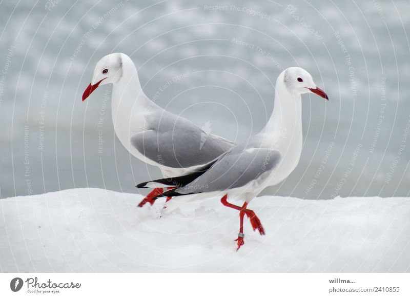 Seagulls at Pas de deux in the snow Winter Snow Grey-headed Gull 2 White Pair of animals In pairs birds