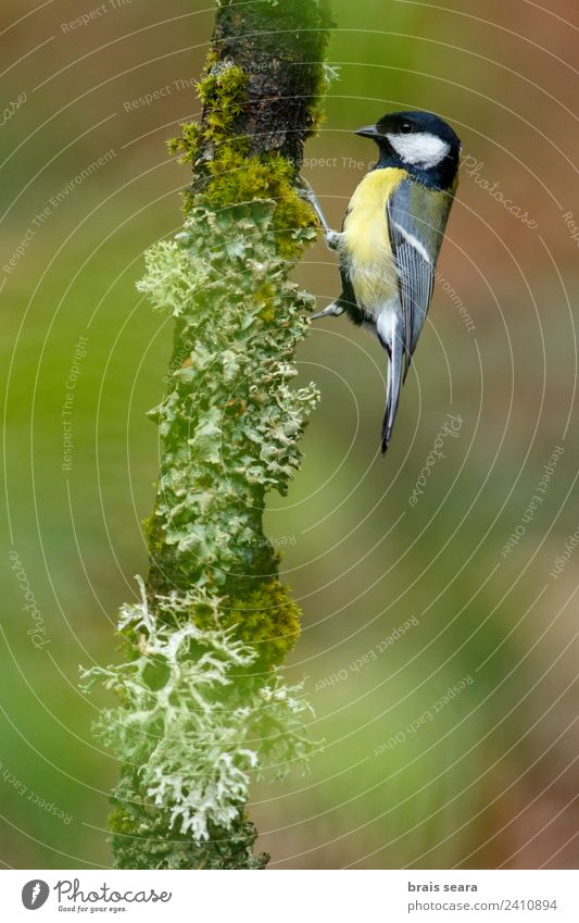 Great Tit Science & Research Biology Ornithology Environment Nature Animal Plant Tree Forest Wild animal Bird 1 Wood Natural Yellow Green Love of animals