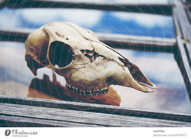 Wild animal skull over an old window Sky Nature Old Animal Window Dark Natural Wood Death Dirty Glass Past Creepy End