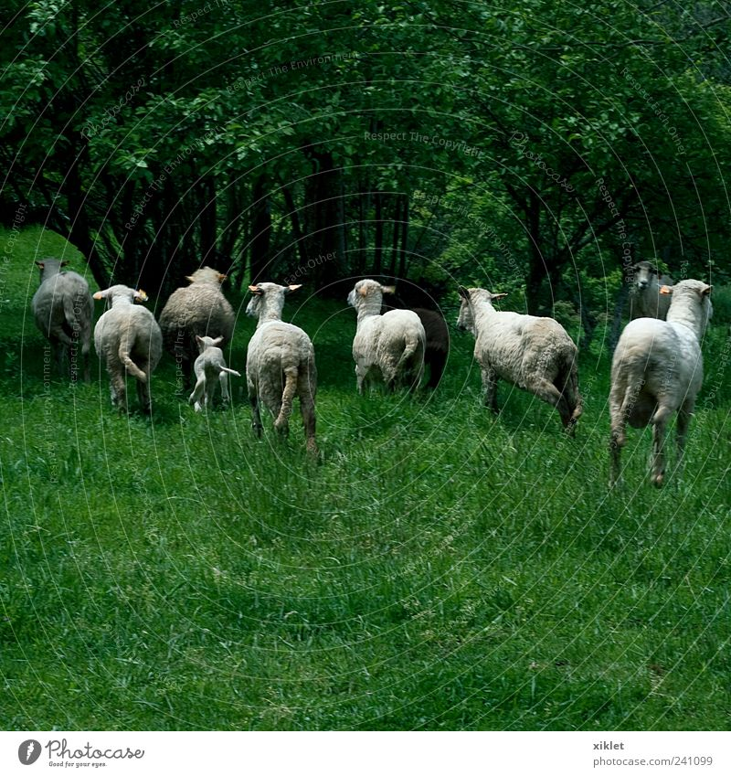 sheep running Nature White Green Tree Animal Grass Jump Field Fear Walking Running Village Agriculture Pasture Sheep Mammal