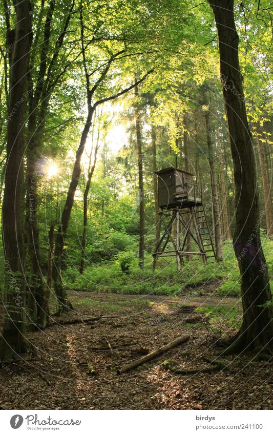 lust for the forest Hunting Nature Plant Sunlight Summer Beautiful weather Forest Natural Green Calm Peace Back-light Sunrise Hunting Blind Footpath Leaf canopy