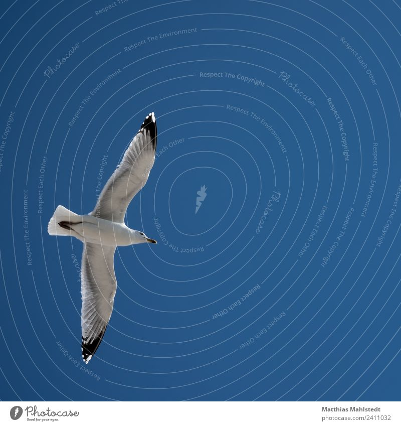 The Seagull Sky Cloudless sky Beautiful weather Animal Wild animal Bird Wing 1 Observe Flying Esthetic Free Infinity Maritime Above Blue White Serene Calm