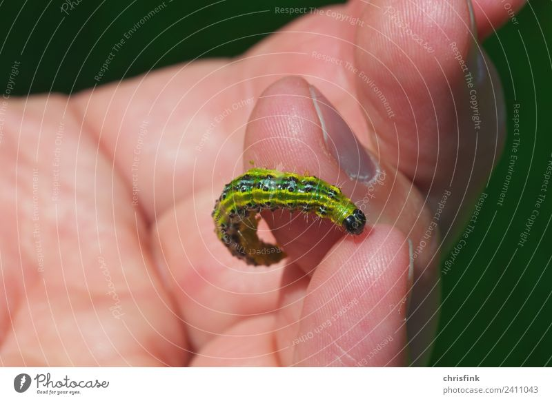Zünsler caterpillar on finger Animal 1 To feed Disgust Small Slimy Green Black Cydalima perspectalis Pests Destructive weed Box tree bux Colour photo Close-up