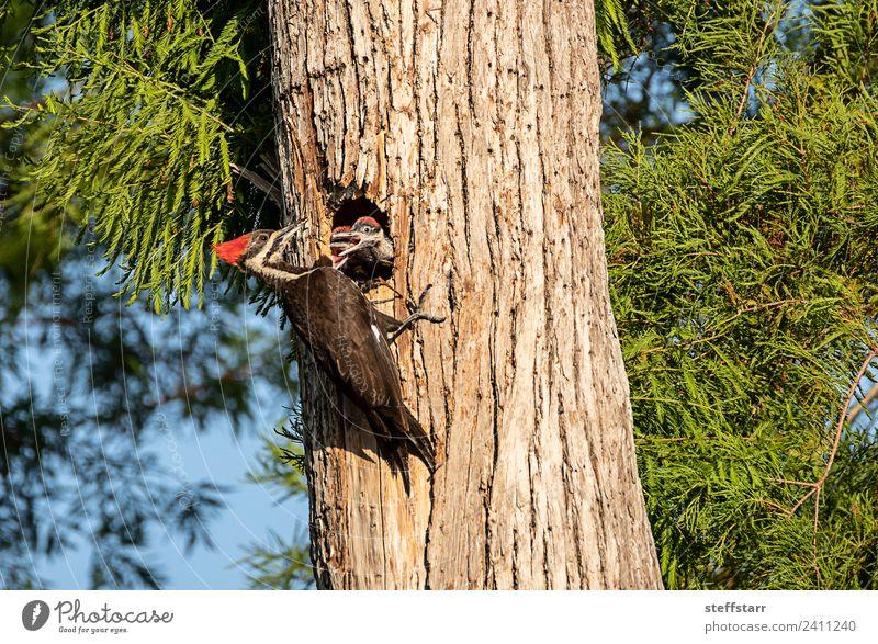 Pileated woodpecker bird Dryocopus pileatus chicks Baby Tree Animal Wild animal Bird 3 Baby animal Wood Brown Green Red Chick beg for food begging Woodpecker