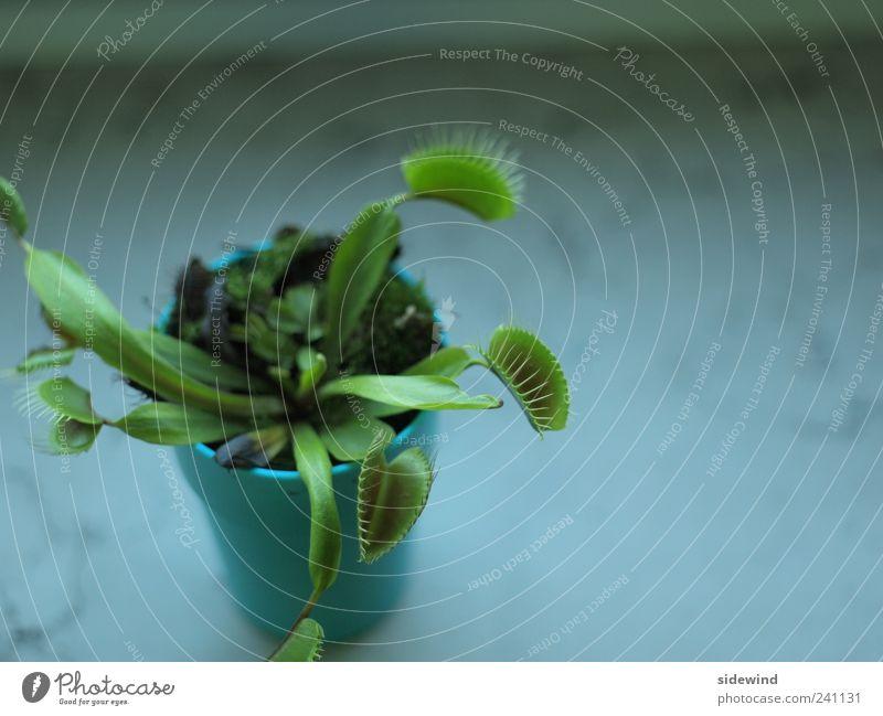 Green Plant Leaf Environment Life Natural Uniqueness Appetite Exotic Thorny Optimism Foliage plant Pot plant Voracious Venus' flytrap Carnivorous plants