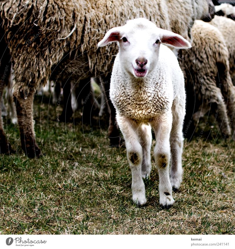 Nature White Animal Meadow Grass Small Dirty Cute Curiosity Pelt Animal face Sheep Scream Interest Herd Farm animal