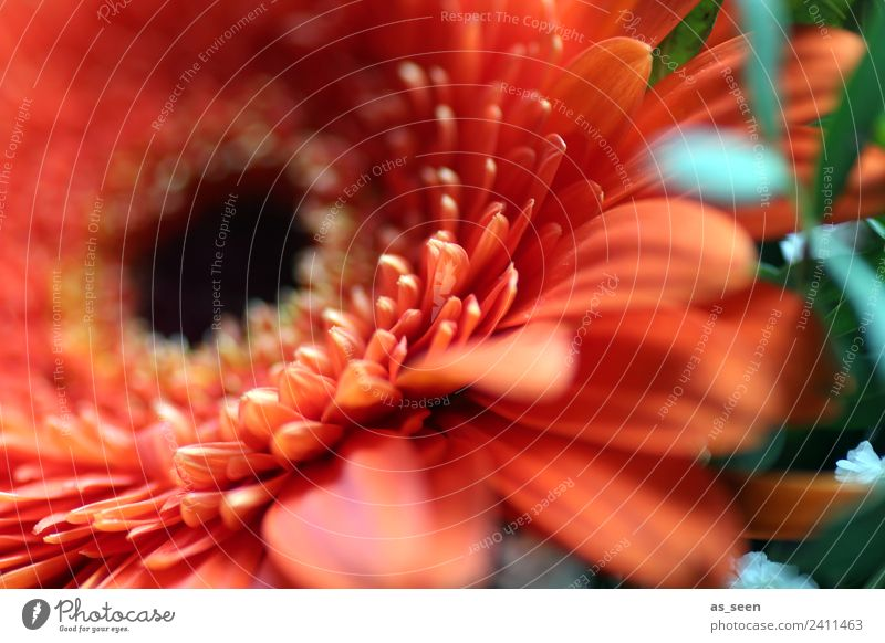 Orange Gerbera Style Design Exotic Life Garden Feasts & Celebrations Environment Nature Plant Spring Summer Flower Leaf Blossom Blossom leave Blossoming