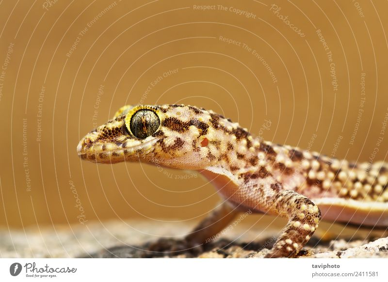 portrait of mediterranean house gecko Beautiful Skin Face House (Residential Structure) Nature Animal Pet Natural Cute Wild Brown Colour Gecko Reptiles lizard