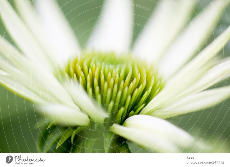 summer flower Elegant Beautiful Life Harmonious Nature Plant Spring Summer Blossom Blossoming Growth Esthetic Fragrance Point Yellow Green White Spring fever