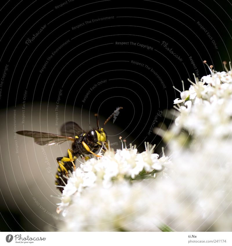 month Environment Nature Plant Animal Meadow Wild animal Wing Wasps field wasp Insect 1 Fragrance Hunting Authentic Friendliness Bright Small Yellow Black White