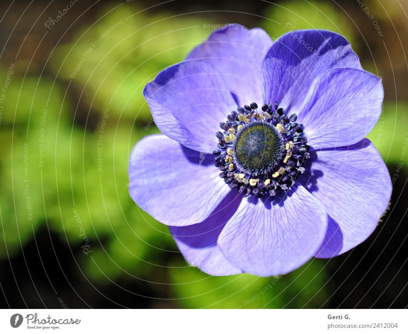 don't you know how beautiful you are? Nature Flower Blossom Anemone Flowering plant Pistil Blossom leave Garden Esthetic Fantastic Beautiful Soft Blue Green