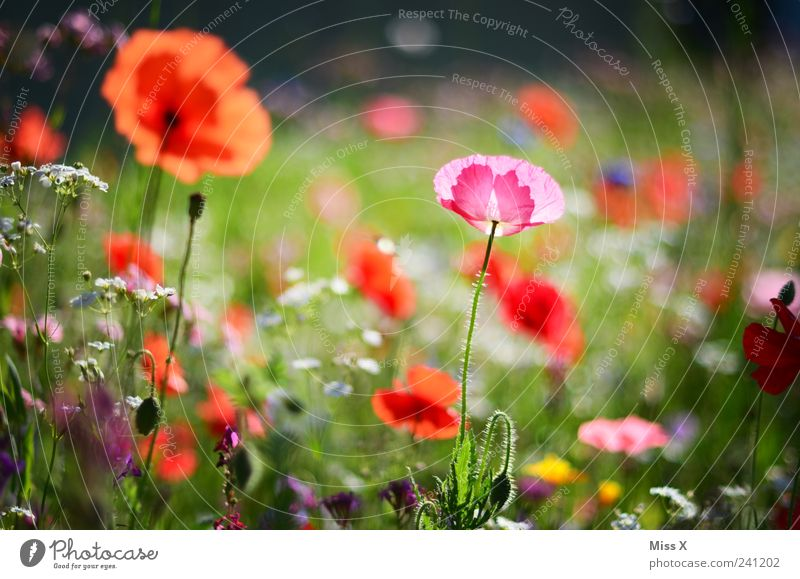 Now it gets colorful again Nature Plant Spring Summer Flower Grass Leaf Blossom Garden Meadow Blossoming Fragrance Growth Positive Beautiful Multicoloured Poppy