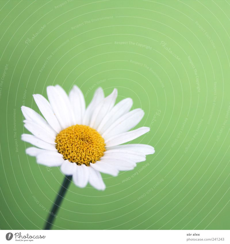 ...loves me? Nature Plant Flower Leaf Blossom Blossom leave Daisy Blossoming Beautiful Yellow Green White Colour photo Interior shot Close-up Detail