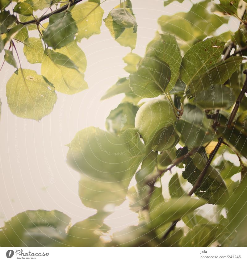 Nature Tree Green Plant Healthy Fruit Apple Delicious Foliage plant Agricultural crop