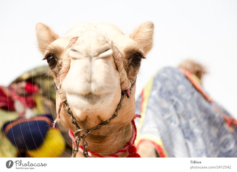 camel look Camel 1 Animal Vacation & Travel Truth Adventure camel races Dubai Portrait photograph Travel photography Colour photo Exterior shot Day
