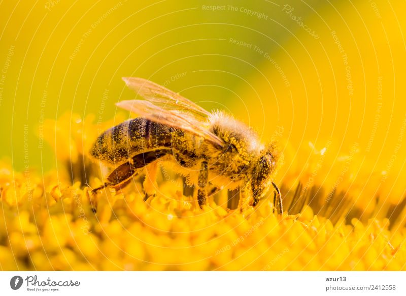 Macro honey bee collects yellow pollen on sunflower in nature Body Summer Sun Sunbathing Work and employment Environment Nature Plant Animal Sunlight Spring