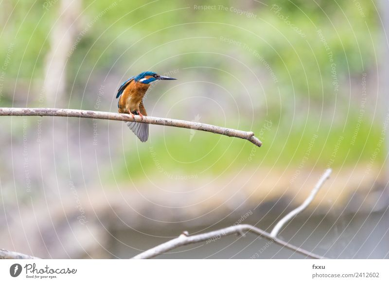 kingfisher Animal Background picture Beak Beautiful beautiful kingfisher Bird Blue Twig Colour Multicoloured Environment Feather Green Kingfisher Nature