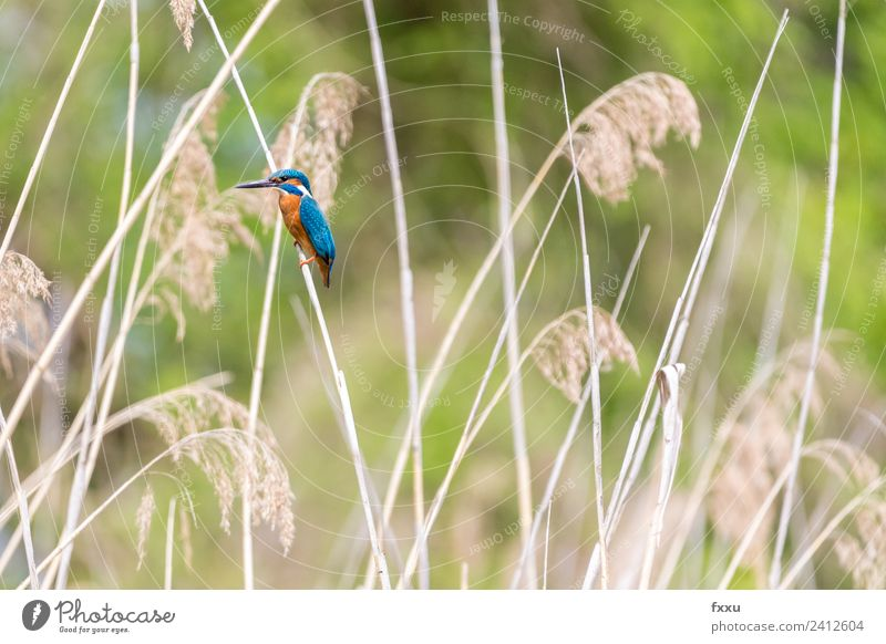 Kingfisher in reed Animal Background picture Beak Beautiful beautiful kingfisher Bird Blue Twig Colour Multicoloured Environment Feather Green Nature