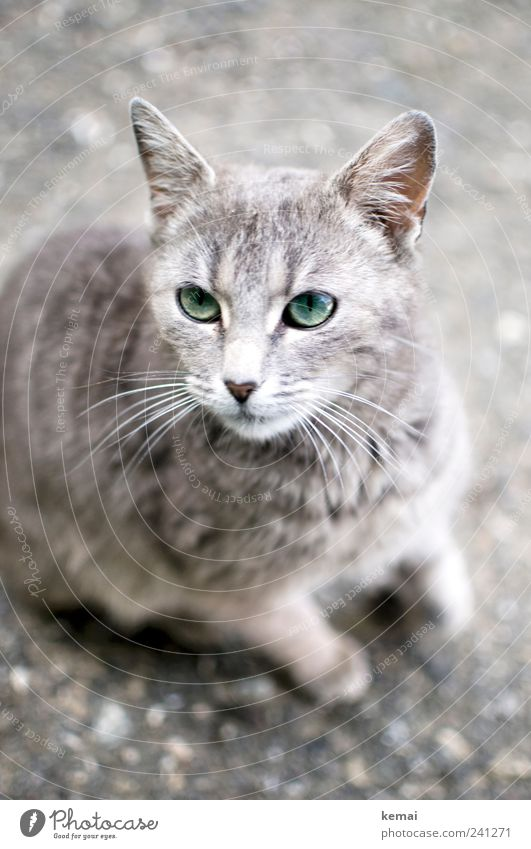 beast Animal Pet Cat Animal face Pelt Whisker Ear Eyes 1 Baby animal Looking Sit Beautiful Curiosity Cute Gray Green Love of animals Colour photo Subdued colour