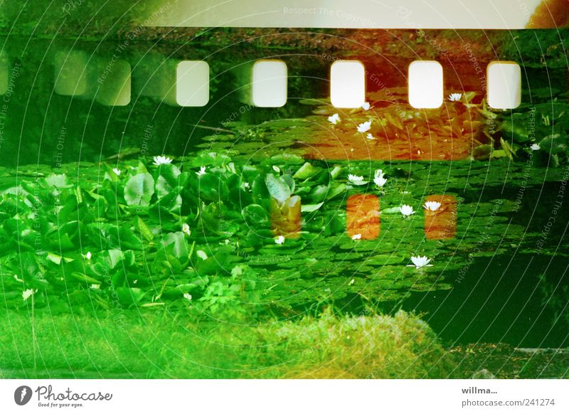 analogue photography II Nature Plant Water lily pond Meadow Pond Green Analog Defective Sprocket holes (film) Scratch mark Water lily leaf Lotus Lotus leaf