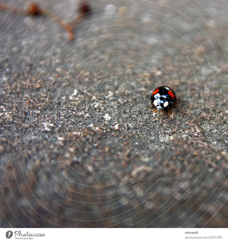Look me in the eye Animal Wild animal Beetle Animal face Ladybird 1 Stone Small Red Black Eyes Looking Hypnotic Hypnotize Colour photo Exterior shot