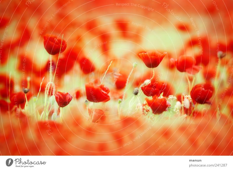 Red Sea Nature Spring Summer Plant Flower Blossom Agricultural crop Poppy Poppy blossom Poppy field Esthetic Authentic Natural Beautiful Colour photo