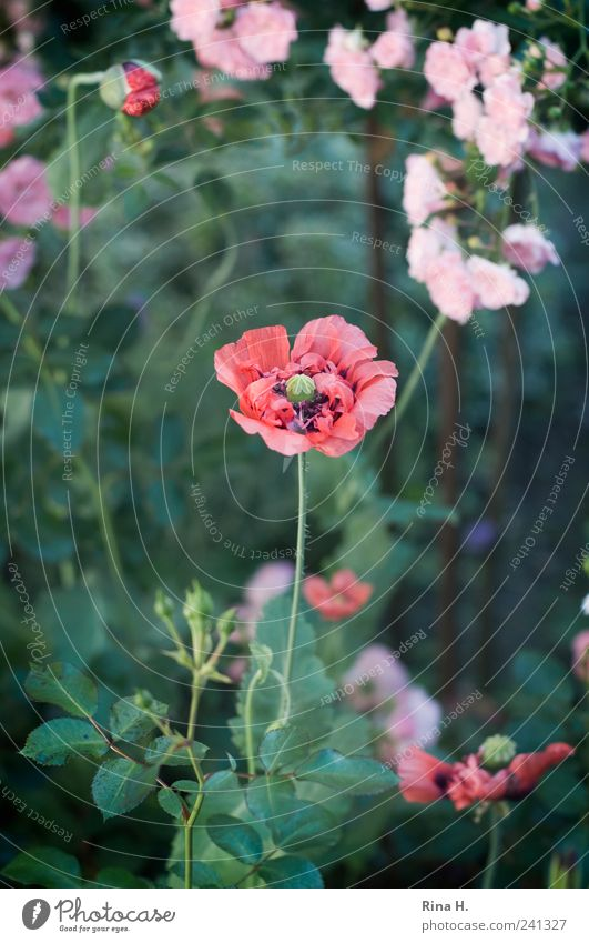 beginning and end Summer Rose Blossom Wild plant Poppy Poppy blossom Garden Blossoming Faded Esthetic Authentic Natural Green Pink Red Moody Romance Beginning
