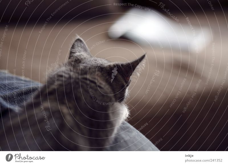 Animal Emotions Cat Moody Brown Wait Planning Lie Observe Point Curiosity Concentrate Discover Hunting Make Watchfulness