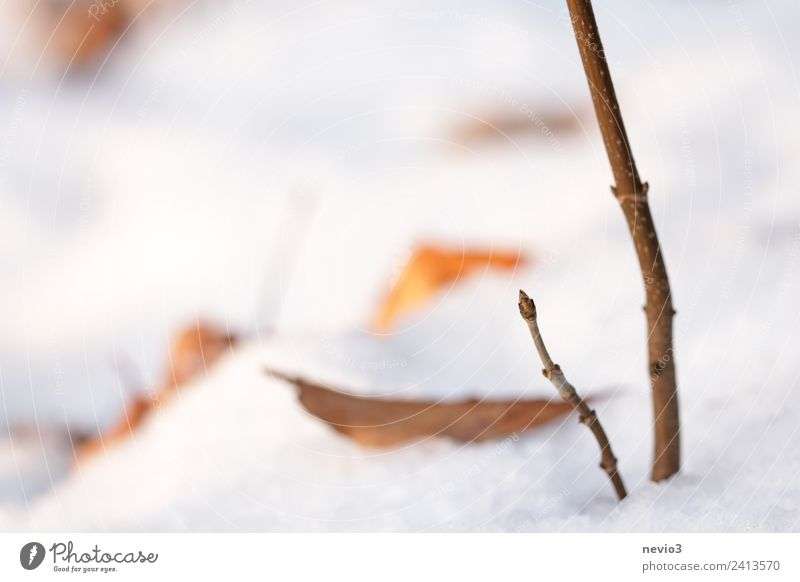 Winter landscape - bud in the snow Environment Nature Landscape Earth Plant Leaf Agricultural crop Garden Park Forest Bright Beautiful White Bud Leaf bud Growth