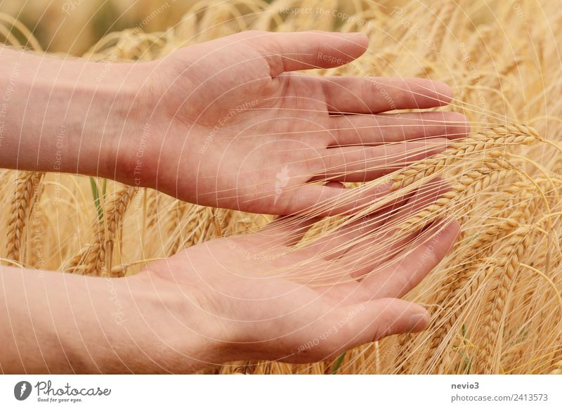 Hands roaming the barley field Environment Landscape Grass Agricultural crop Meadow Field Beautiful Yellow Gold Spring fever Barley Barleyfield Barley ear