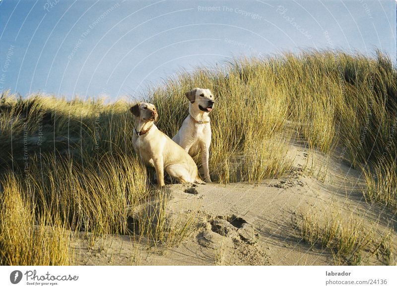 Beach Grass Dog Beach dune Pet Labrador
