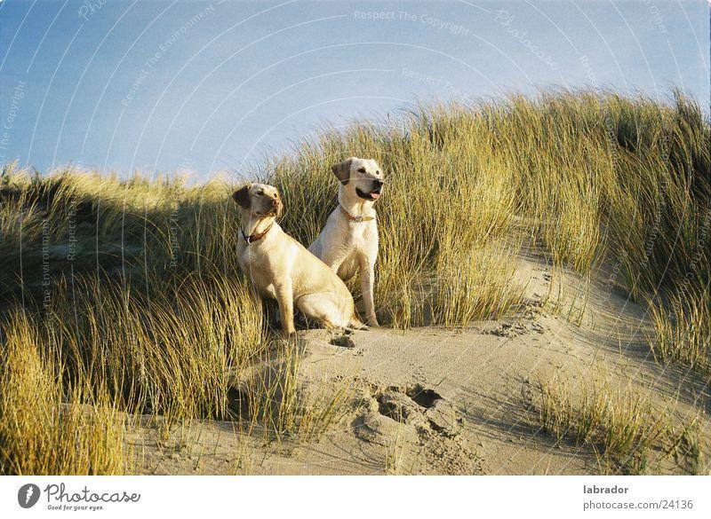 Labradors Dog Pet Beach Grass Beach dune