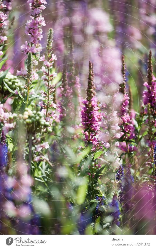 Lythrum salicaria [1] Environment Nature Plant Summer Flower Leaf Blossom Wild plant common loosestrife Herbaceous plants Garden Park Blossoming Growth